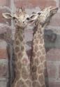p1000382-giraffes